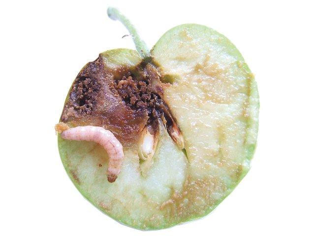 Apfel mit Apfelwickler